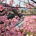 淀の河津桜2
