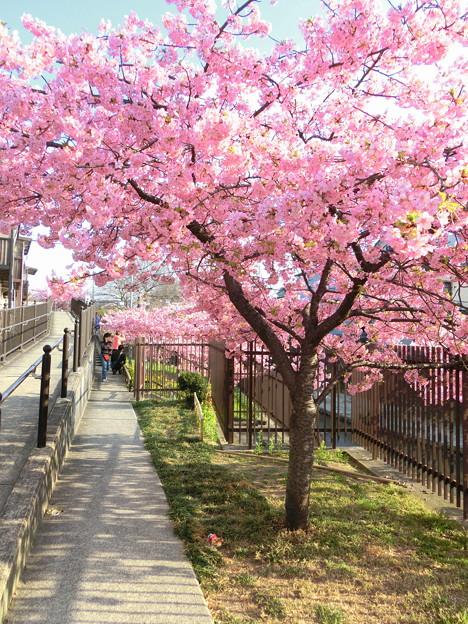 淀の河津桜3