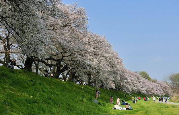 背割堤の桜