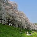 写真: 背割堤の桜