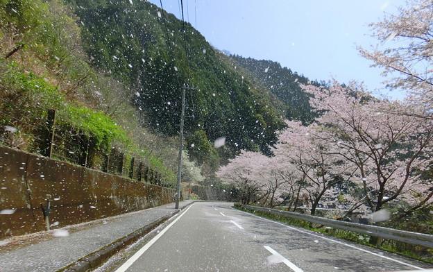 桜の猛吹雪