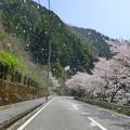 写真: 桜の猛吹雪