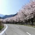 写真: 街道の桜