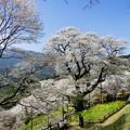写真: ひょうたん桜