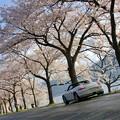 写真: 海津大崎桜並木