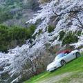 写真: 桜の広場2