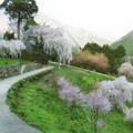 写真: 中越家の枝垂れ桜
