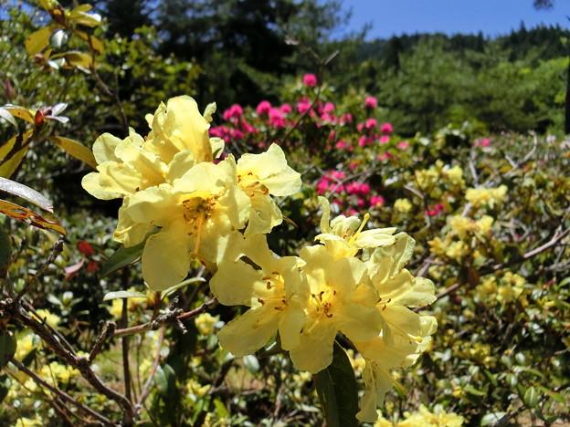 黄色い石楠花
