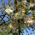 写真: 三刀屋の御衣黄桜
