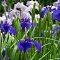 写真: 花しょうぶ