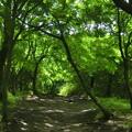 写真: 曽爾高原の青もみじ