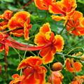 写真: 鮮やかなオオゴチョウ