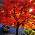 写真: 紅葉の傘