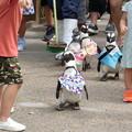 Photos: ペンギン散歩