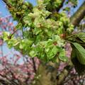 橋本の御衣黄桜