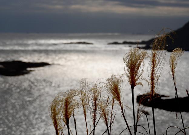 岬の枯れすすき