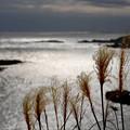 写真: 岬の枯れすすき