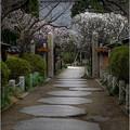 写真: 梅の参道