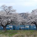 写真: 桜並木を走る貨物列車