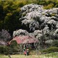 Photos: 雪村桜