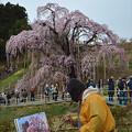 滝桜を描く