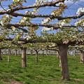 満開の梨畑