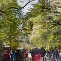 写真: 桜散る角館