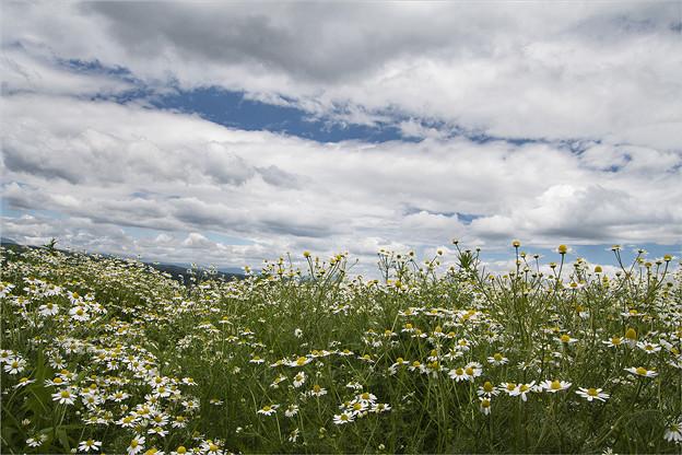 カモミール畑