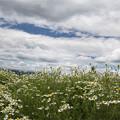写真: カモミール畑