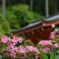 写真: 紫陽花の寺