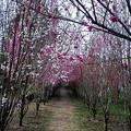 花桃のトンネル