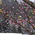 写真: 団子の木