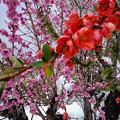 写真: 雪の花見ツアー