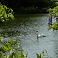 Photos: 藤と白鳥