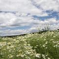 カモミール畑の空