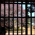 Photos: 矢掛町 観照寺の梅02