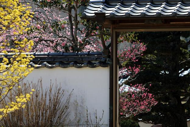 Photos: 矢掛町 観照寺の梅03