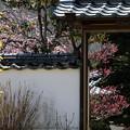 矢掛町 観照寺の梅03