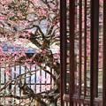 矢掛町 観照寺の梅04