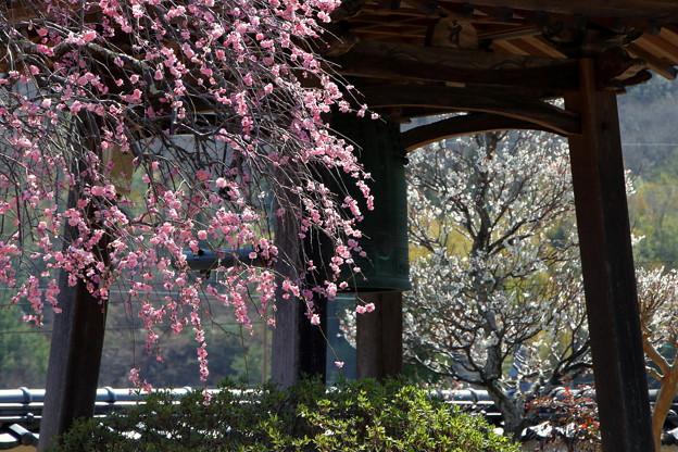 矢掛町 観照寺の梅06