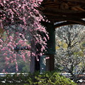 Photos: 矢掛町 観照寺の梅06