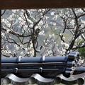 矢掛町 観照寺の梅09