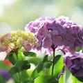 2018 倉敷市種松山公園の紫陽花05