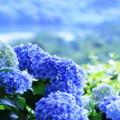 2018 倉敷市種松山公園の紫陽花01
