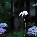 2018 浅口市寂光院の紫陽花06