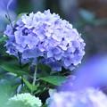 2018 浅口市寂光院の紫陽花02