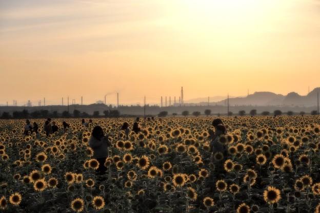 夕日に輝く笠岡ベイファームのひまわり畑08