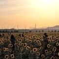 写真: 夕日に輝く笠岡ベイファームのひまわり畑08