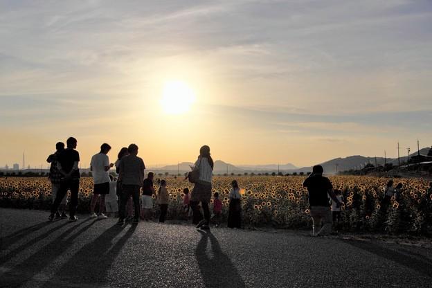 夕日に輝く笠岡ベイファームのひまわり畑07
