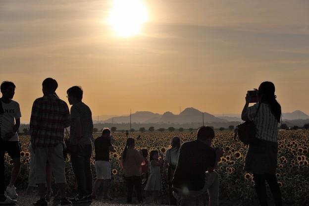夕日に輝く笠岡ベイファームのひまわり畑06